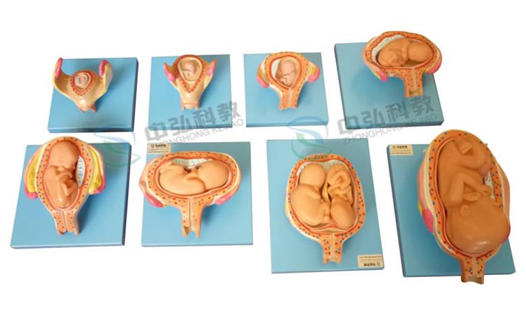 高级妊娠胚胎发育过程模型
