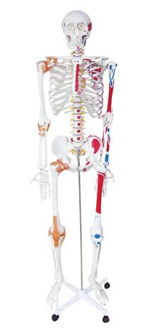 人体骨骼附关节韧带和肌肉着色模型