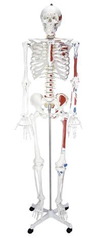 人体骨骼半边肌肉着色模型