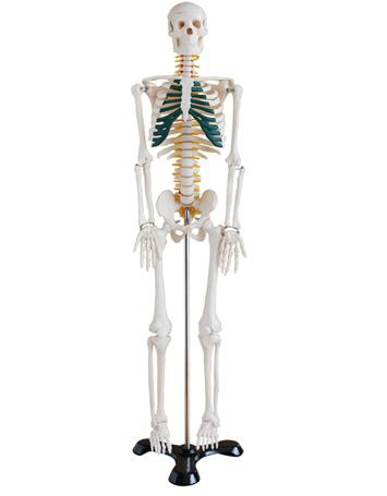 85CM人体骨骼带神经模型