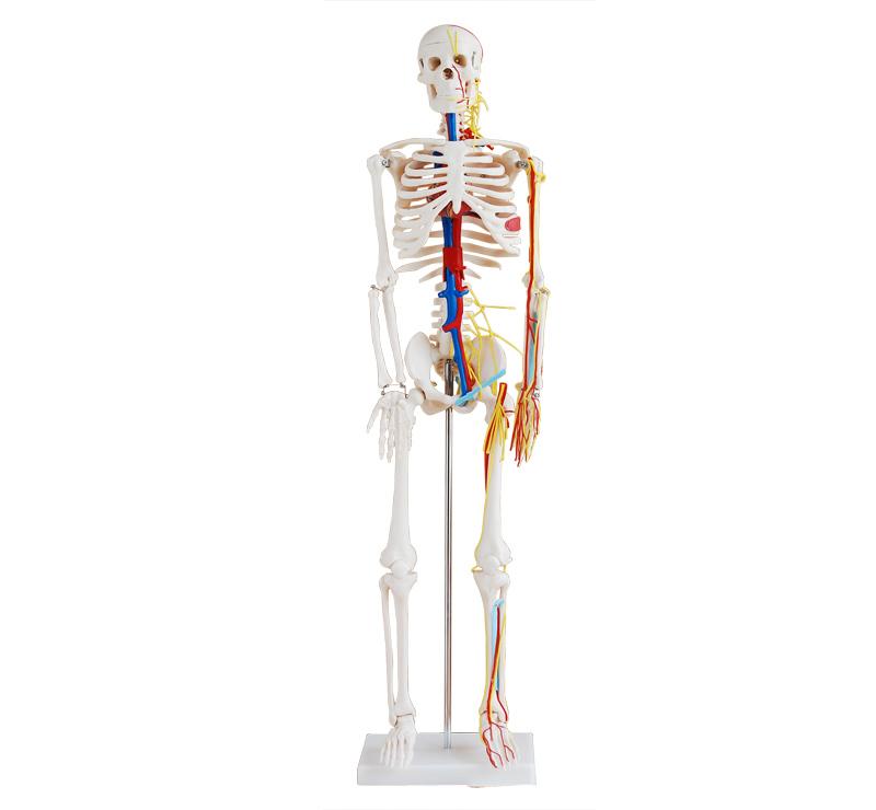 85CM人体骨骼带心脏与血管模型