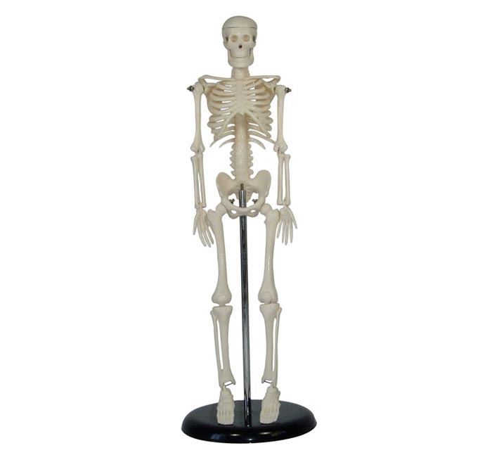 45CM人体骨骼模型