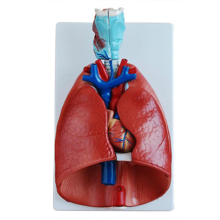 呼吸系统模型