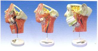 头面及颈部血管神经分布