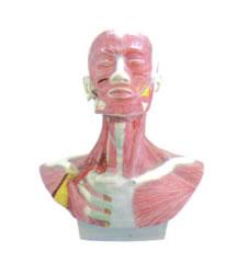头、面、颈部解剖和颈外动脉配布