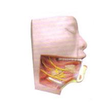下颌下三角解剖模型
