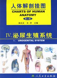 人体解剖挂图 泌尿生殖系统