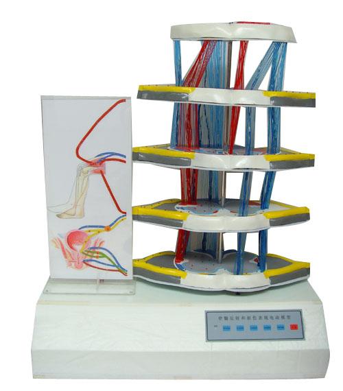 脊髓反射和损伤表现电动模型