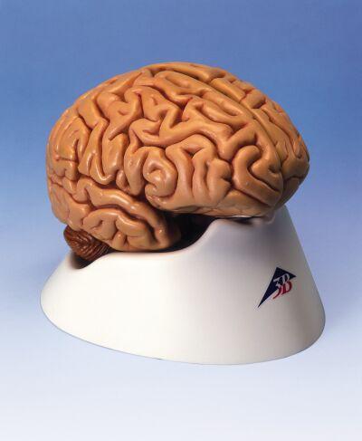 经典脑模型,5部分