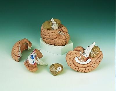 经典脑模型