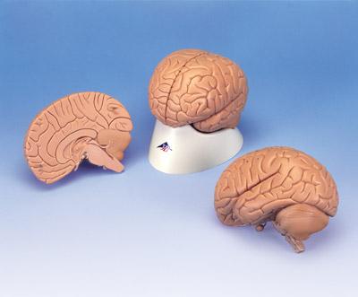 标准脑模型