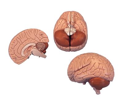 介绍性脑模型