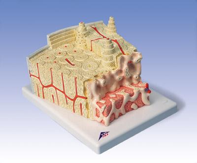 骨结构模型