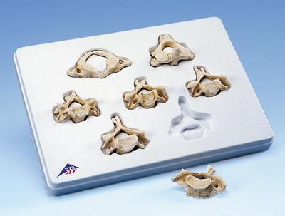 一套7块颈椎模型
