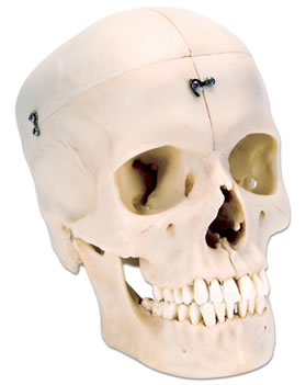 头颅骨模型,4部分