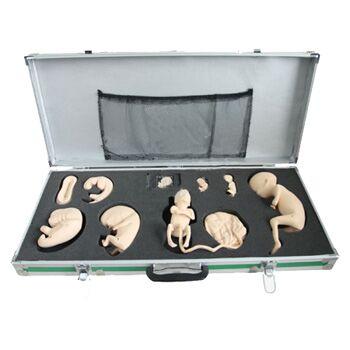 高级胚胎发育过程模型