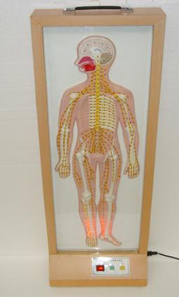 脑脊髓脊神经分布电动模型
