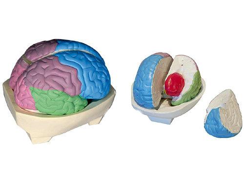 大脑分叶模型