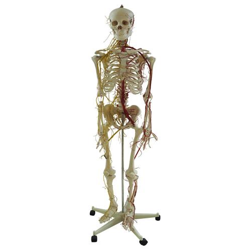 人体全身骨骼附主要动脉和神经分布
