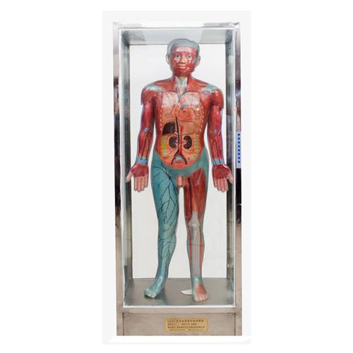 全身血液循环电动模型