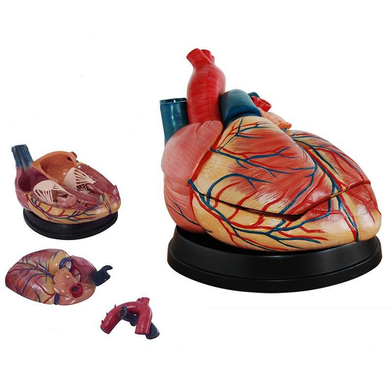 新型大心脏解剖模型