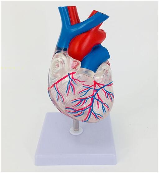 自然大透明心脏解剖模型